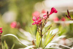 Sonnleitn Blume